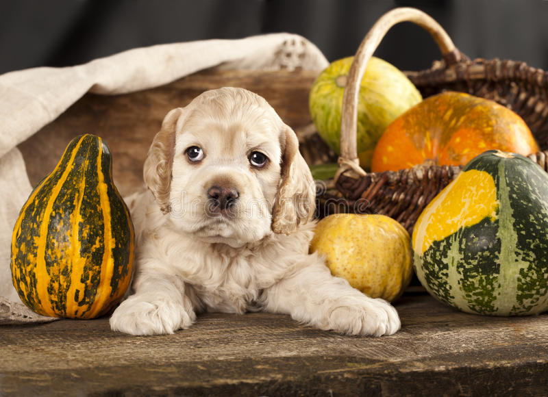 Download Spaniel puppy stock photo. Image of togetherness, domestic - 22226236