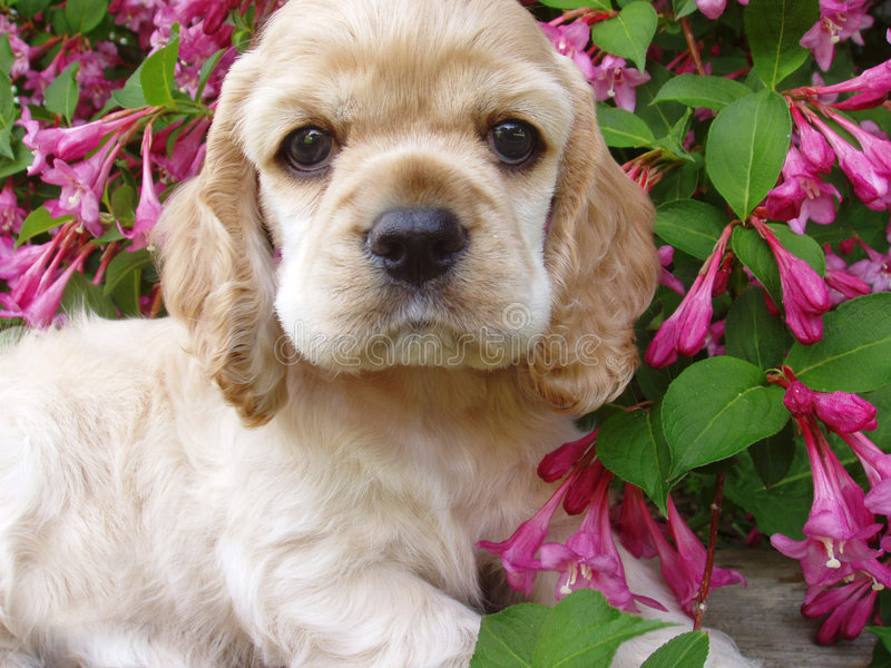 Spaniel puppy stock photos
