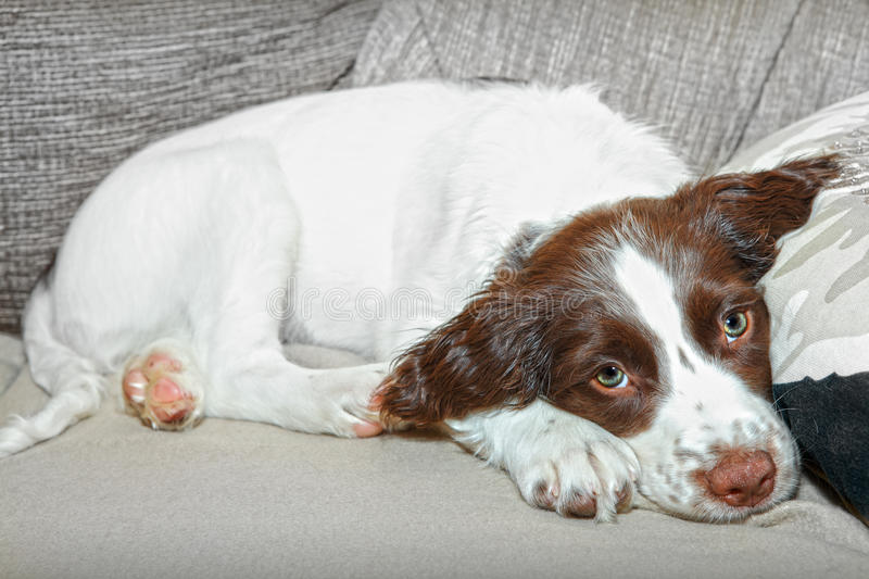Download Spaniel puppy dog stock image. Image of puppy, breed - 25167913