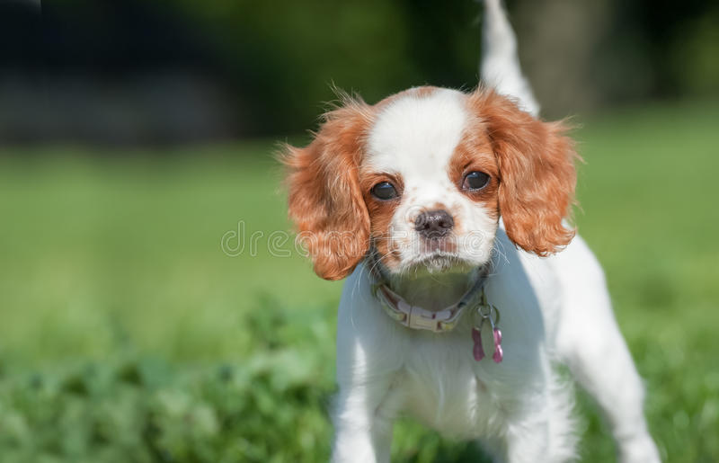 Spaniel puppy face stock image