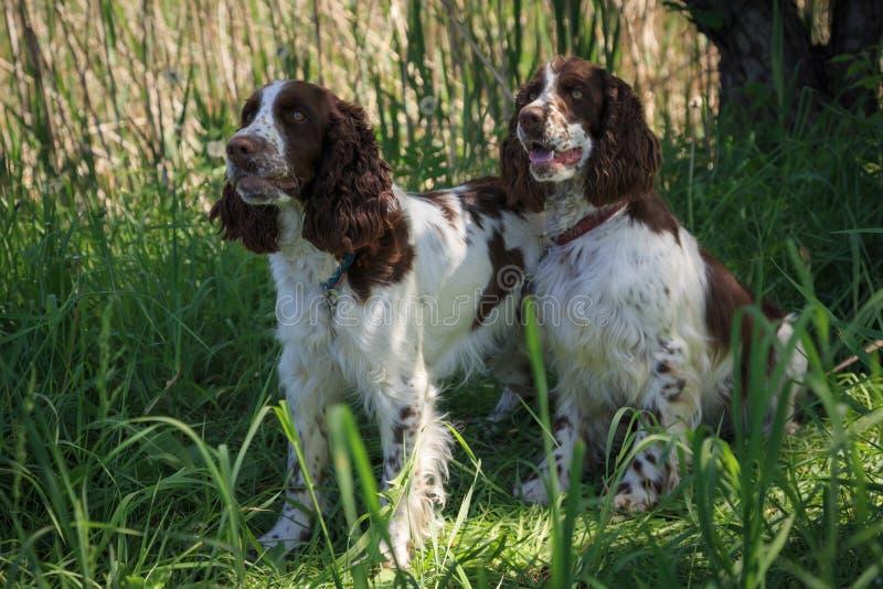 Spaniel russo dei cani da caccia Due cani della stessa coloritura Bianco con marrone fotografia stock