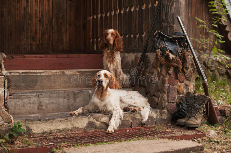 Spaniel and setter with hunting bird and ammunition royalty free stock image