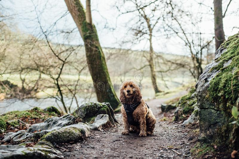 Spaniel sitting on country path stock photo