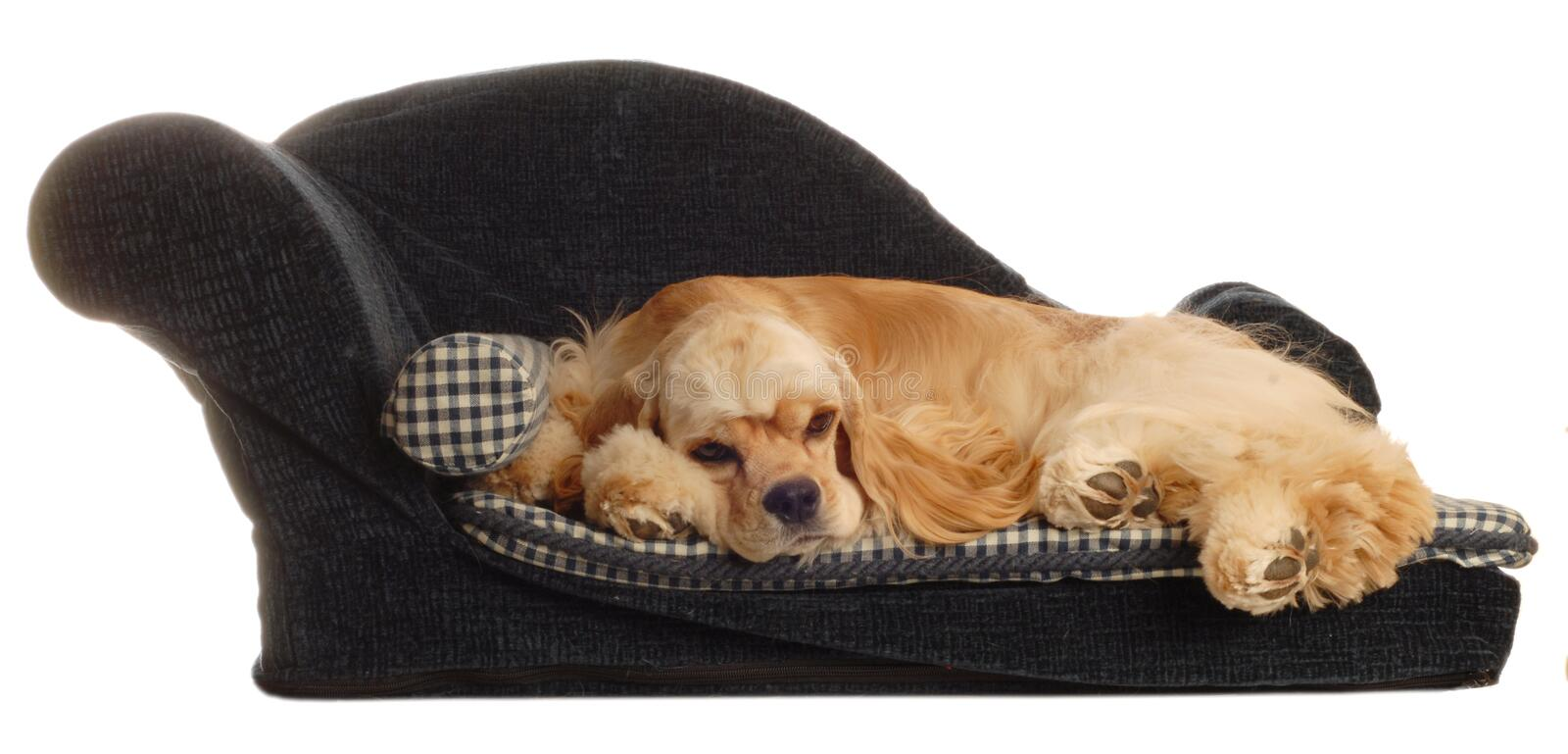Spaniel sleeping on dog bed royalty free stock photos