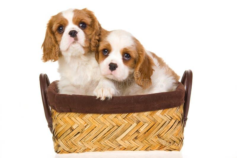 spaniel sprezzante dei cuccioli del re del charles fotografia stock