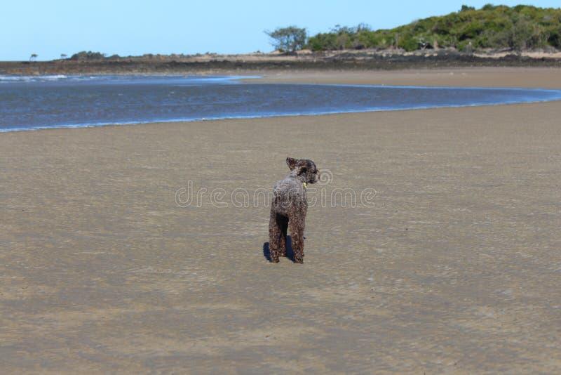 Spaniela pies na piasku zdjęcia stock