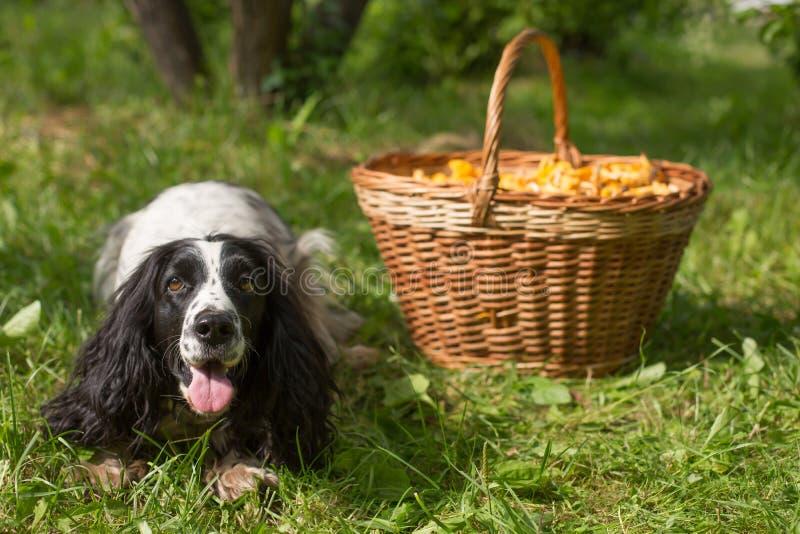 Spanielhund, der nahe dem Weidenkorb mit Pilzen liegt stockbild