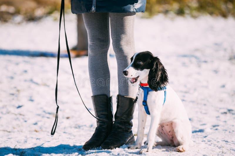 Spanielhunden sitter nära ägare under utbildning arkivfoto
