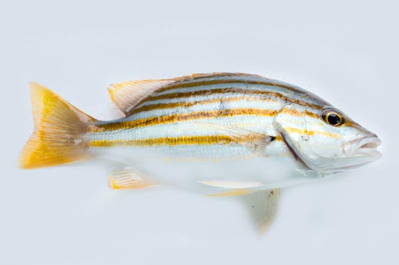 Spanische Flaggenrotbarschfische auf weißem Hintergrund stockbild