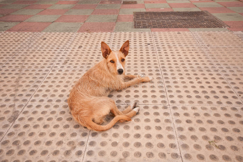 Spanischer Hund stockfotografie