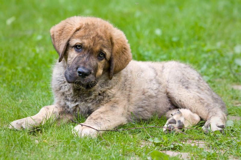 Spanischer Mastiff stockbild