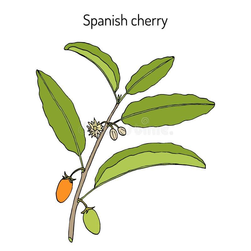 Spanisches Kirsche-Mimusops-elengi oder Mispel, Kugelholz, Bakula, Heilpflanze lizenzfreie abbildung