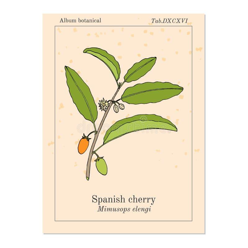 Spanisches Kirsche-Mimusops-elengi oder Mispel, Kugelholz, Bakula, Heilpflanze stock abbildung