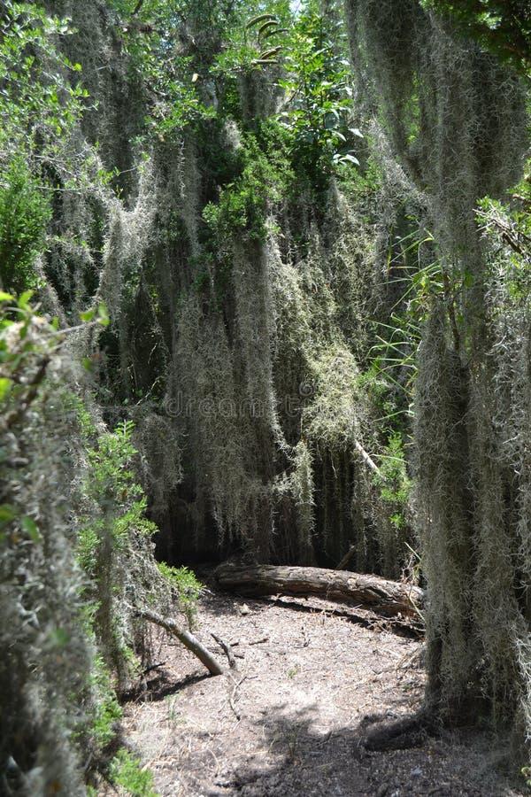 Spanisches Moos, das frei unter Bäumen wächst lizenzfreie stockbilder