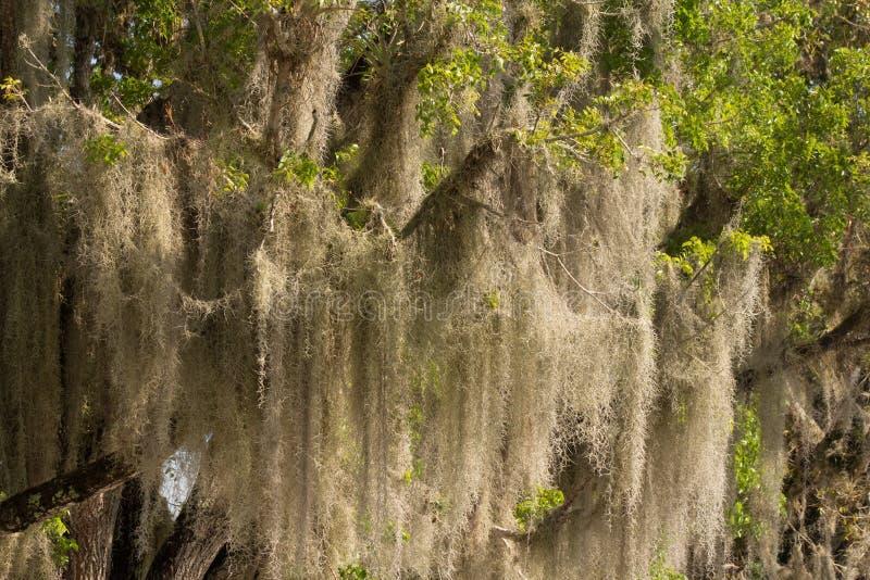Spanisches Moos in den Sumpfgebieten stockfotografie