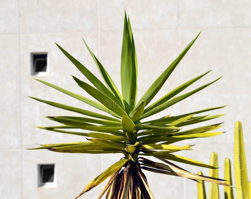 Yucca aloifolia plant. Spanish bayonet tree Latin name Yucca aloifolia flowers stock photo