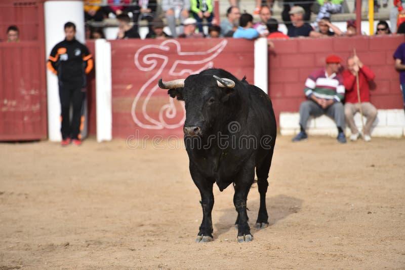 Spanish bull royalty free stock photography