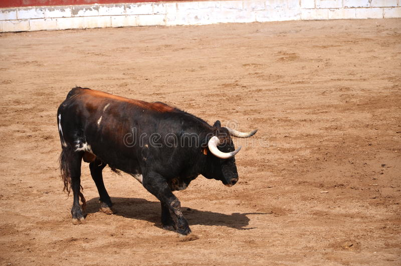 Spanish bull on a bullring. During corrida show in Fontanar, Spain royalty free stock photos