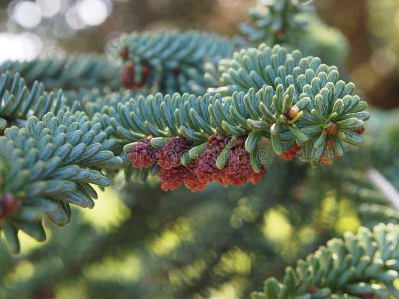 Spanish fir, close up. royalty free stock image
