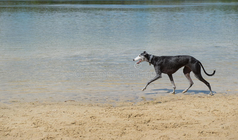 Download Spanish Galgo stock image. Image of spanish, thin, nature - 34432819