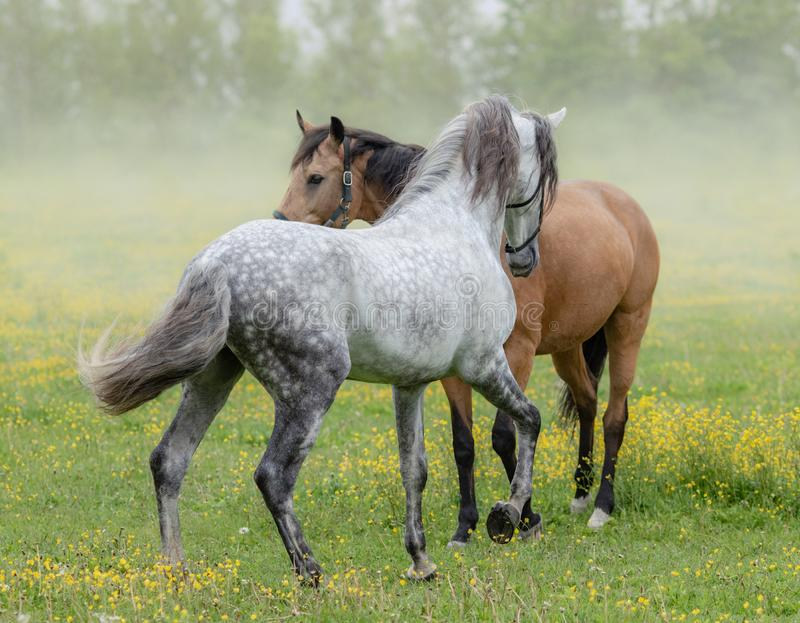 Spanish stallion and mare on summer pasture. Spanish gray stallion and bay mare on summer pasture royalty free stock image