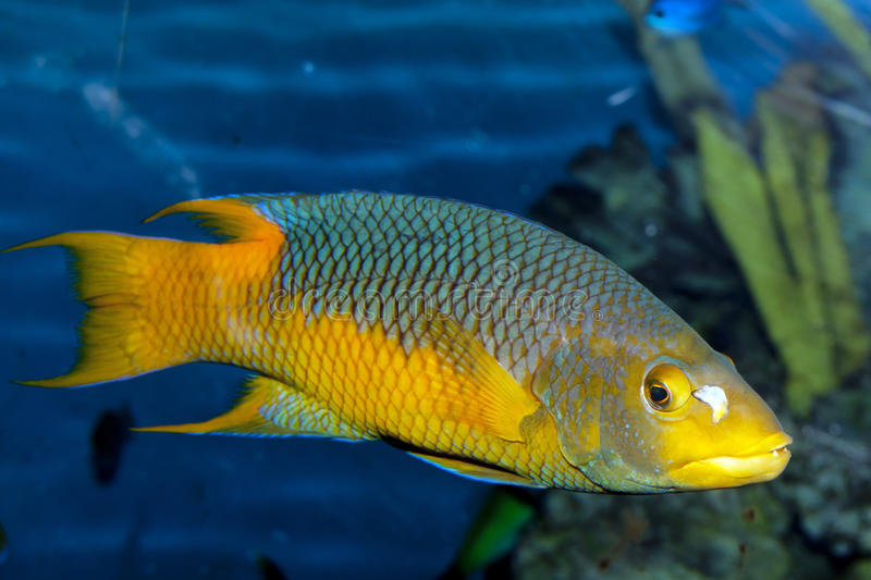 Download Spanish Hogfish stock photo. Image of hogfish, spanish - 17976512