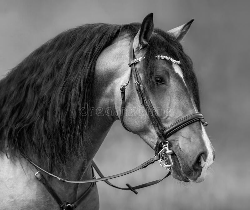 Spanish horse with long mane and forelock in bridle royalty free stock image
