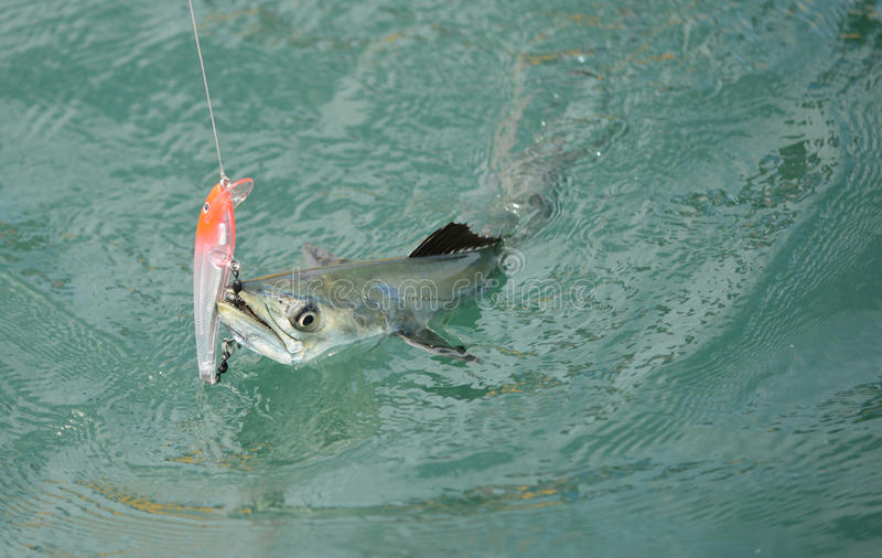 Spanish mackerel fish caught on hook and fishing line for B liner fish