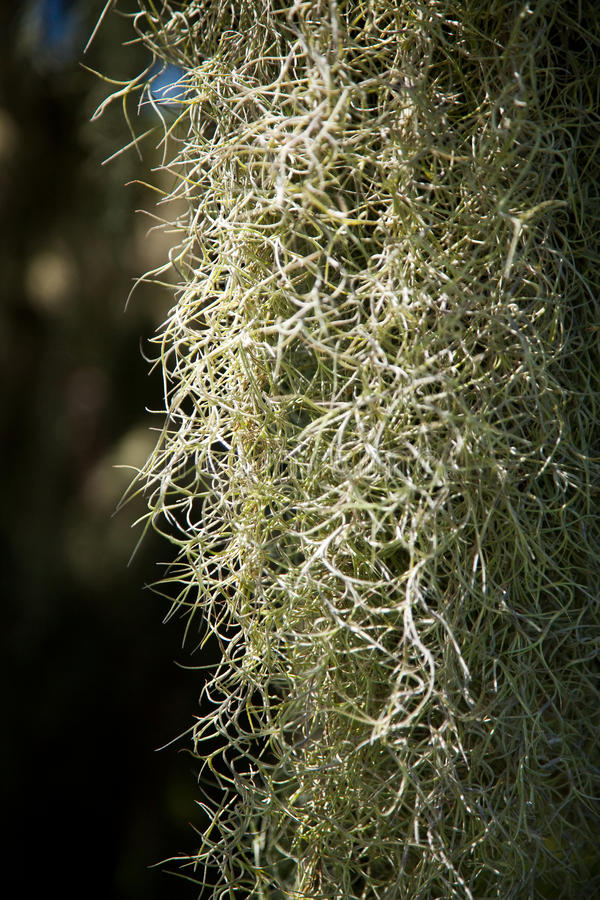 Spanish moss royalty free stock photography