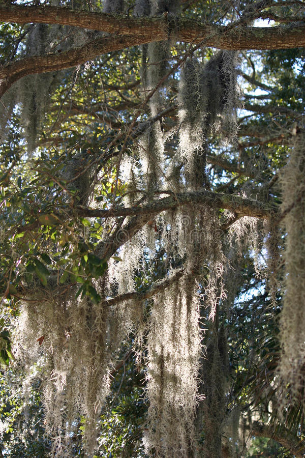 Spanish Moss 4 royalty free stock images