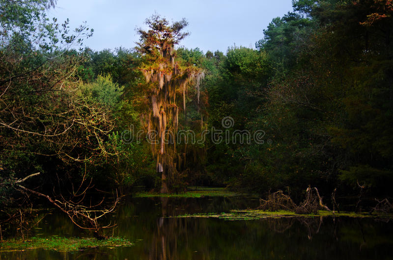 Spanish Moss Backwater Swamp. In Reed Bingham State Park Georgia stock photography