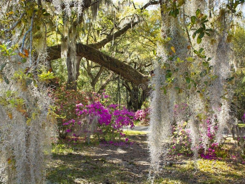 Spanish Moss in beautiful garden with azaleas flowers blooming under oak tree. royalty free stock photography