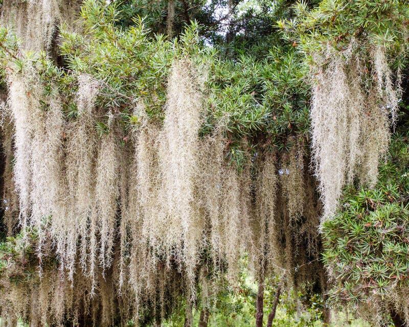 Spanish Moss Growing On Tree Stock Image - Image of long ...