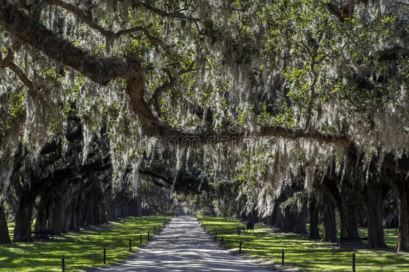 Spanish moss hanging from live oak trees, driveway royalty free stock photos