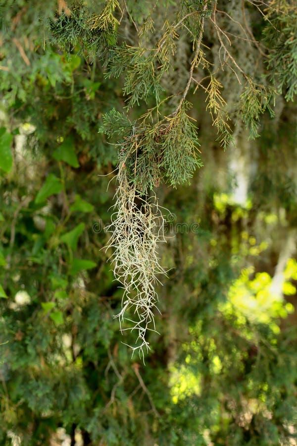 Tillandsia on a branch stock photo. Image of botany ...