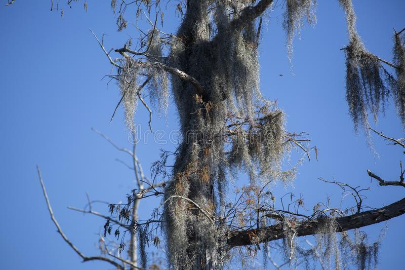 Spanish Moss Hanging From Tree Stock Photo - Image of ...