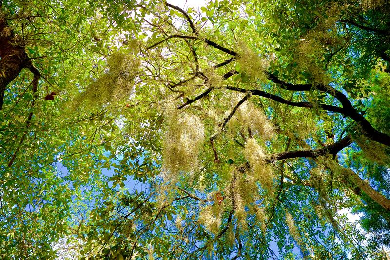 Spanish Moss Hanging From a Tree royalty free stock photography