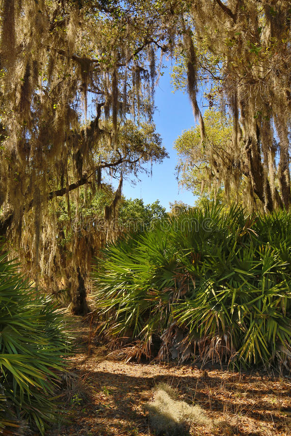 Spanish moss hanging from trees at Lake Kissimmee Park, Florida. Lush tropical woods with abundant Spanish moss draping branches of live oak trees at Kissimmee stock photo