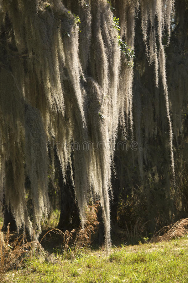 Spanish moss hanging from trees at Lake Kissimmee Park, Florida. Lush tropical woods with abundant Spanish moss draping branches of live oak trees at Kissimmee royalty free stock photo
