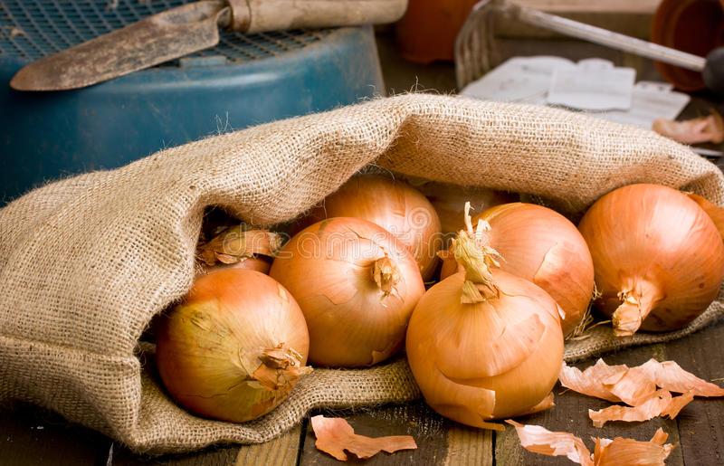 Spanish Onions in a hessian sack on rustic wooden. Spanish Onions in a hessian sack on rustic wooden bench with garden tools stock photography