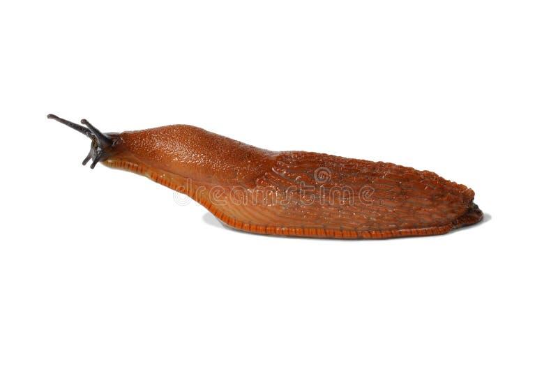 Spanish Slug stock photography