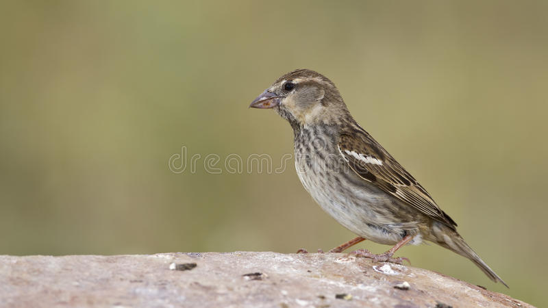 Download Spanish Sparrow stock photo. Image of leaves, crab, finch - 26738462