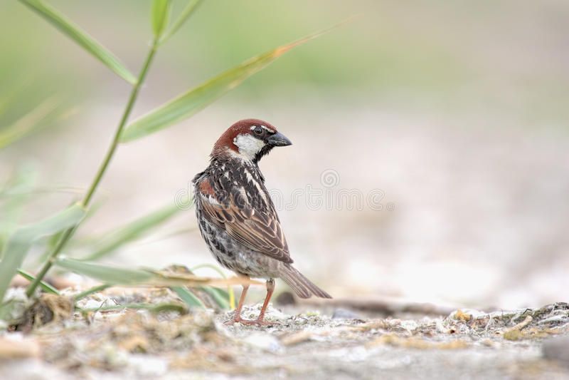 Spanish Sparrow, Passer Hispaniolensis, Single Male Stock Photo - Image Of Spanish -2676