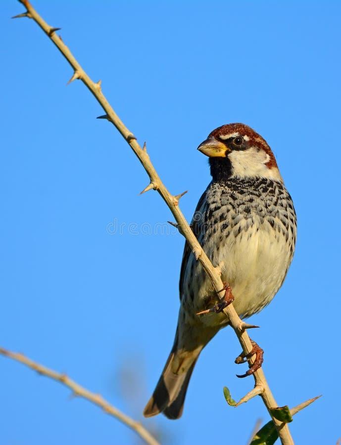 Spanish sparrow, Passer hispaniolensis royalty free stock images