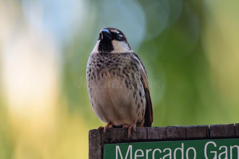 Spanish sparrow passer hispaniolensis royalty free stock photos
