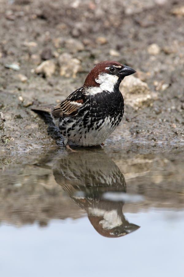 Spanish sparrow, Passer hispaniolensis, single male stock photography
