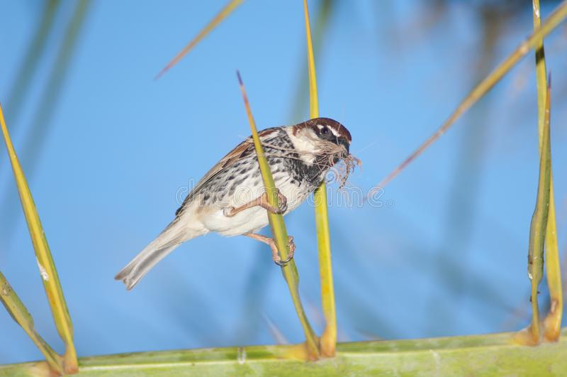 Spanish sparrow Passer hispaniolensis. stock image