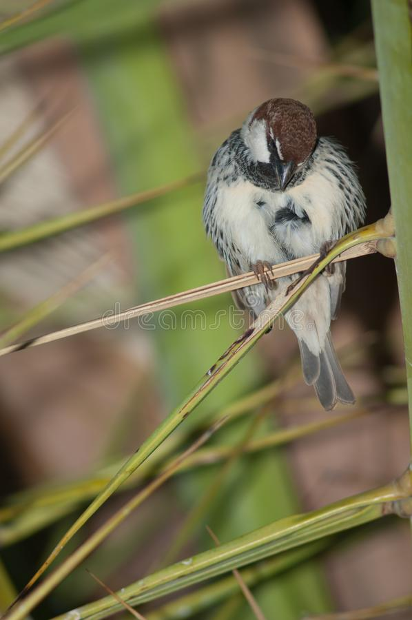 Spanish sparrow Passer hispaniolensis. royalty free stock photo