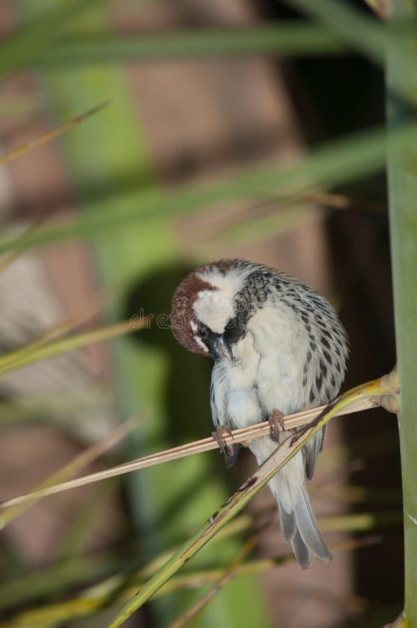 Spanish sparrow Passer hispaniolensis. royalty free stock photos