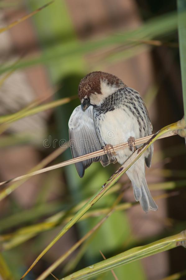 Spanish sparrow Passer hispaniolensis. royalty free stock photography